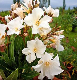 OLEANDER HAUS  Nerium Oleander   Rokokó Rose