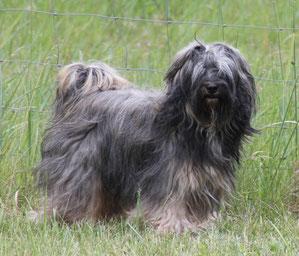 Tibet Terrier Hündin Emelie du joyeux Berger