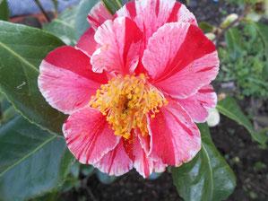 Camellia 'AY AY AY '  (SCIDF 77049)