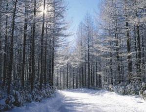 雪の落葉松林 (半切)