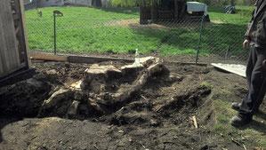 Baumstumpf mit beachtlicher Ausmaßen