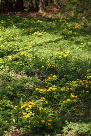 ヤマブキソウはすべて植栽されたものとその子孫