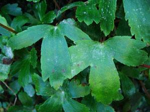 #6 3深裂(左)・3中裂(右)するナメラダイモンジソウの葉葉