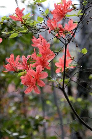 ヤマツツジ  多摩の丘陵には多く見られる