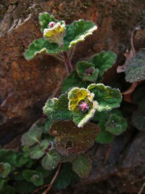 左の花の葉。 コバノタツナミソウかな?