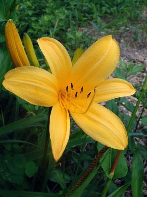 ゼンテイカ (禅庭花) ワスレグサ科