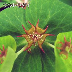 ナツトウダイの腺体は鋭い三日月形