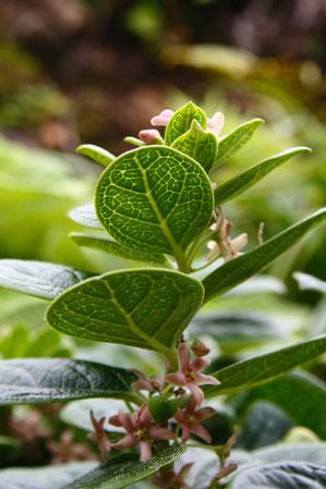 クロバナイヨカズラの葉の裏面