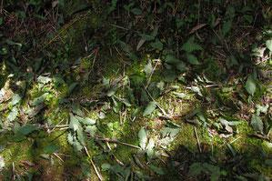 コイチヨウランの上にも降り積もる緑色の落ち葉