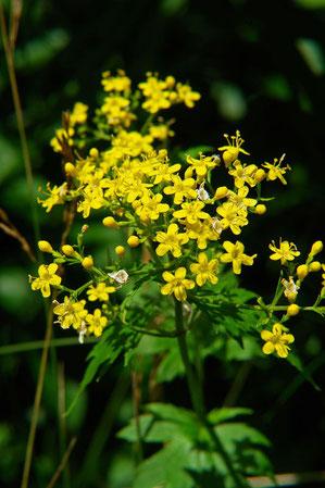 ハクサンオミナエシ (白山女郎花)