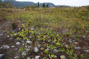 カワラノギクの自生地は砂利や砂が堆積し、クズがはびこっていた。