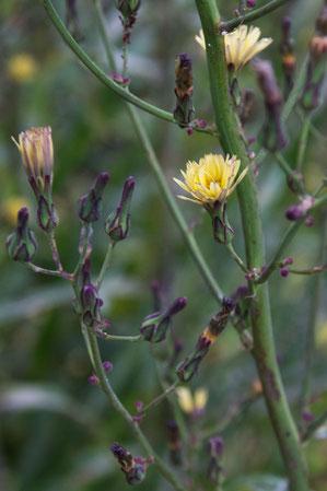 ホソバノアキノノゲシ  花は終盤でした