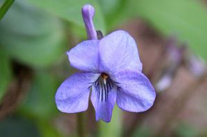ナガハシスミレの花の正面