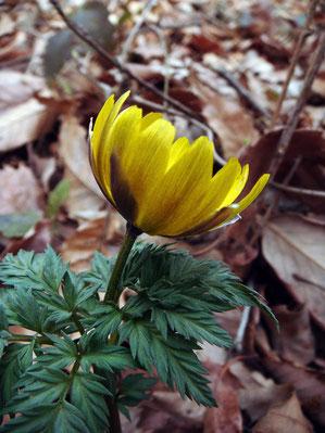 ミチノクフクジュソウ 萼片の長さが花弁の半分