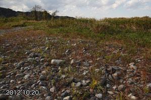 カワラノギクの自生地、2012年、ほぼ同じ場所。堆積物は多くない。