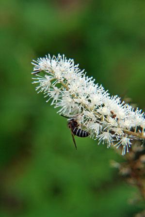 サラシナショウマ キンポウゲ科 サラシナショウマ属