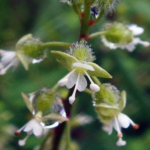 ミズタマソウの花 花弁は2個で2裂します 2009.08.02 長野県北安曇郡 alt=750m