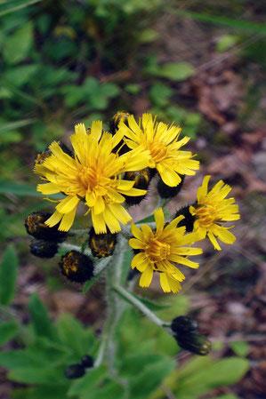 ミヤマコウゾリナの花