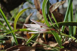 アマナ (甘菜) ユリ科 アマナ属 咲き始め