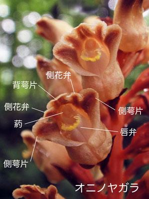 #7 オニノヤガラの花の構造(背萼片、側花弁、側萼片、唇弁、葯)