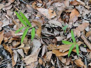 不明の植物の葉