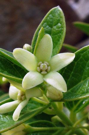 イヨカズラの花