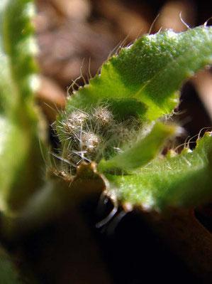 ヤマルリソウの花芽