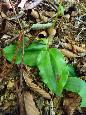 ジンバイソウの葉