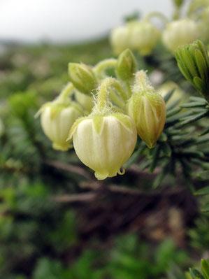アオノツガザクラ (青の栂桜)
