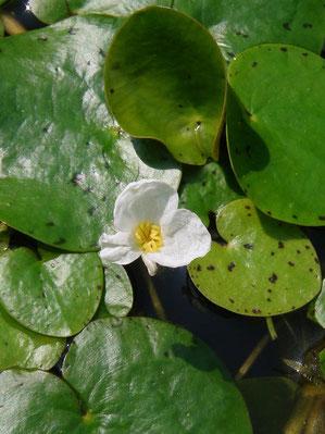トチカガミの雌花