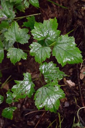 イヌショウマの葉