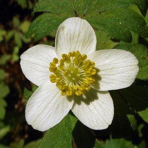 #8 サンリンソウの花 拡大−1