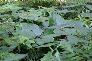 ムサシアブミは、大きな葉はまだ残していた