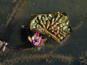 わずかに残ったオニバスの花