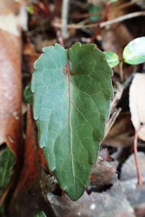 シハイスミレの葉は三角状狭卵形、基部は深い心形
