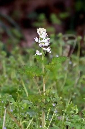 シロヤブケマン  ムラサキケマンの白花品