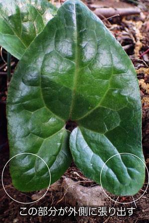 ランヨウアオイの葉の表面