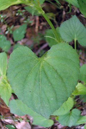 エゾノタチツボスミレの葉