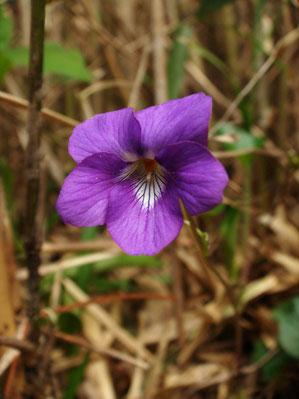 テリハニオイタチツボスミレ 花の色が濃く中央の白がはっきりしている