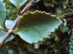 通常の株の葉の表面