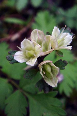 ハナネコノメはもう終わっていた 花猫の目 ユキノシタ科 ネコノメソウ属