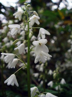 オサバグサの花 かわいい花でしょ?