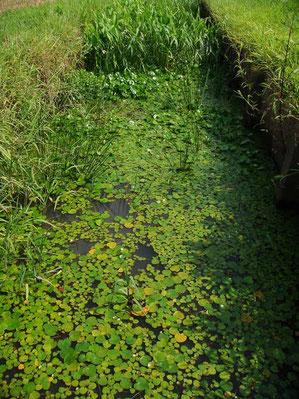 トチカガミがいた水路