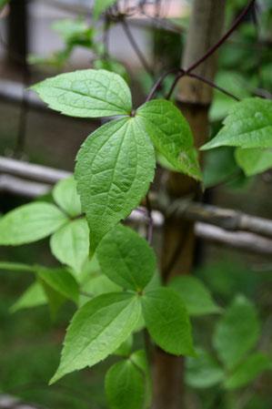 ハンショウヅルの葉