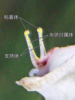 糸状の付属体(黄色の着色部)(粘着体、支持体、糸状付属体)