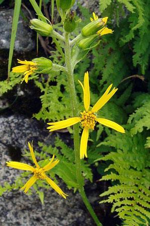 カイタカラコウ 舌状花は5個のことが多い