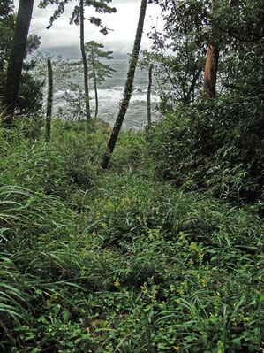 キバナアキギリ