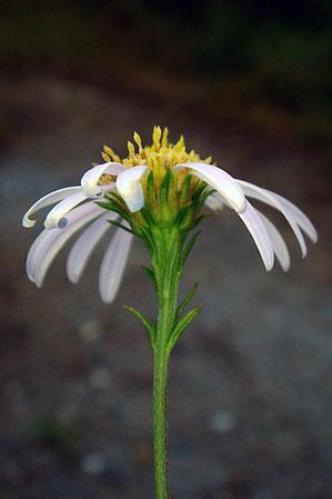 ヤナギノギクの花の側面と総苞片の様子