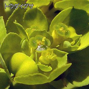 トウダイグサの腺体は楕円形