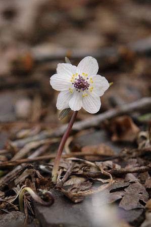 この花は萼片が7つあります。